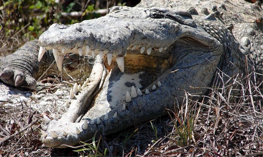 crocodile-526435_1280